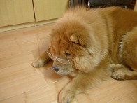 Teddy our 1st female chow chow
